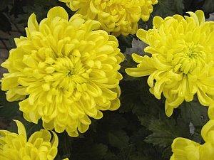 黄色いキク