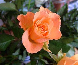 薄いオレンジのバラ