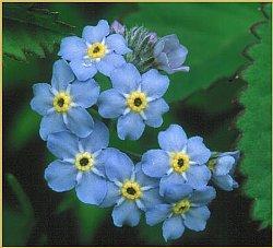 ワスレナグサの画像 p1_1