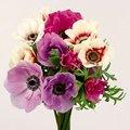 3月10日の誕生花は「アネモネ」