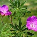 7月27日の誕生花は「フウロソウ」