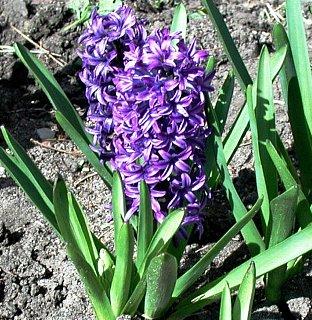 紫色のヒアシンス