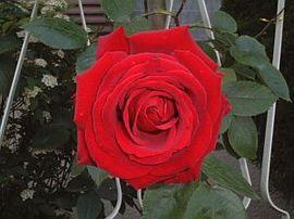12月25日の誕生花「赤いバラ」
