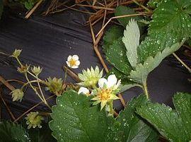 12月27日の誕生花「イチゴ」
