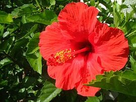 7月11日の誕生花は「ハイビスカス」