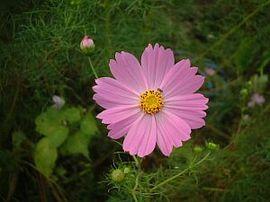 10月9日の誕生花は「ピンクのコスモス」