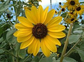 8月5日の誕生花は「ヒマワリ」
