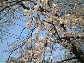 3月28日の誕生花は「ソメイヨシノ」