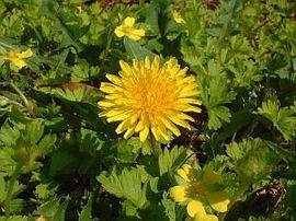 2月7日の誕生花は「タンポポ」