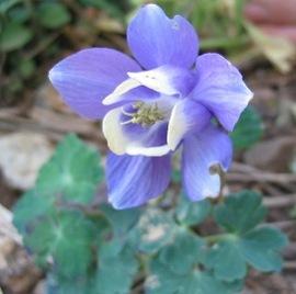 5月8日の誕生花は「オダマキ」