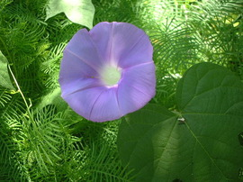 8月1日の誕生花は「アサガオ」