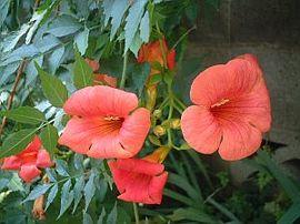 7月14日の誕生花は「ノウゼンカズラ」