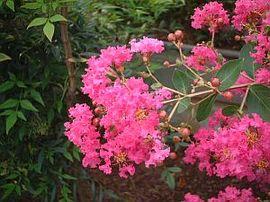 8月29日の誕生花は「サルスベリ」