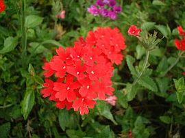 6月24日の誕生花は「赤いバーベナ」