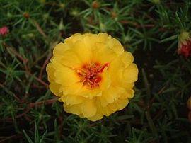 7月27日の誕生花は「マツバボタン」