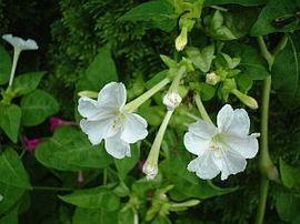 7月28日の誕生花は「オシロイバナ」