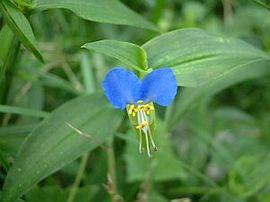 7月6日の誕生花は「ツユクサ」