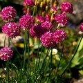 3月2日の誕生花は「アルメリア」