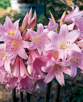 12月3日の誕生花は「ベラドンナ・リリー」