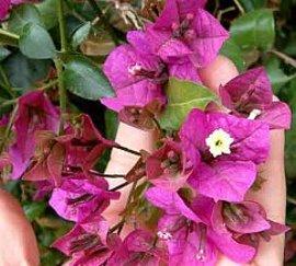 7月23日の誕生花は「ブーゲンビレア」