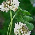 5月27日の誕生花は「シロツメクサ」