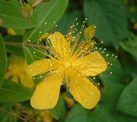 6月30日の誕生花は「ビヨウヤナギ」