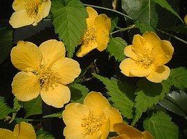 5月4日の誕生花は「ヤマブキ」
