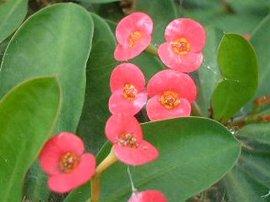 11月9日の誕生花は「ハナキリン」