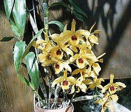 1月16日の誕生花「デンドロビウム」