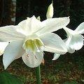 11月2日の誕生花は「ユーチャリス」