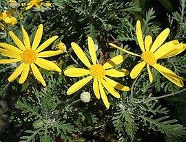 12月31日の誕生花「ユリオプスデージー」