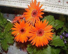 10月8日の誕生花は「ガーベラ(オレンジ)」