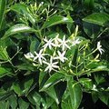 6月10日の誕生花は「ジャスミン」