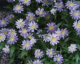 4月21日の誕生花は「ミヤコワスレ」