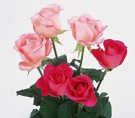 6月17日の誕生花は「ピンクのバラ」