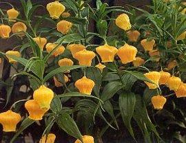 11月28日の誕生花「サンダーソニア」