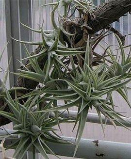 12月13日の誕生花は「チランジア」