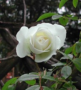 1月19日の誕生花「白いバラ」
