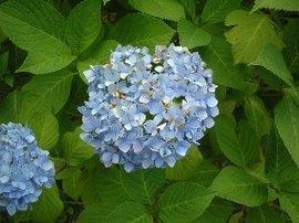 7月1日の誕生花「アジサイ」