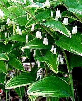 5月23日の誕生花は「アマドコロ」