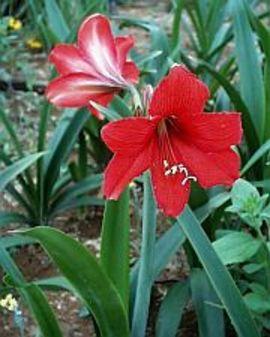 5月28日の誕生花は「アマリリス」