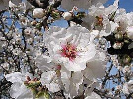 3月14日の誕生花は「アーモンド」