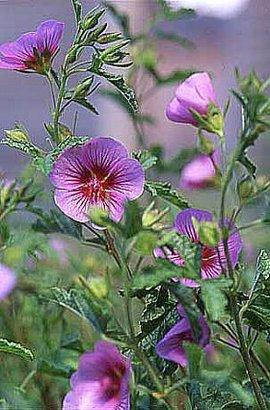 12月28日の誕生花「アニソドンテア」