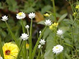 8月14日の誕生花は「アンモビウム」
