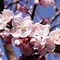 4月12日の誕生花は「アンズ」