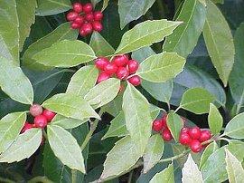 12月7日の誕生花は「アオキ」