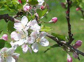 9月29日の誕生花「リンゴ」