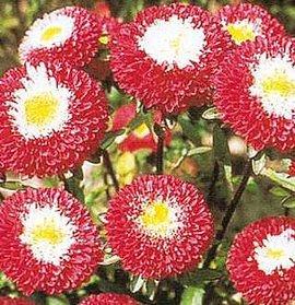 8月7日の誕生花は「赤いアスター」