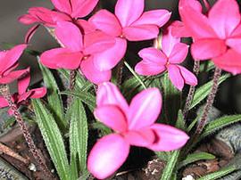 1月23日の誕生花は「アッツザクラ」