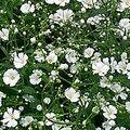 4月1日の誕生花は「カスミソウ」
